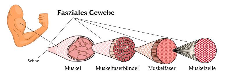 Fasziales Gewebe im Muskel